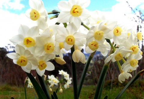 Jonquil_flowers