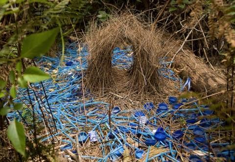 Satin-Bower-Bird-Nest