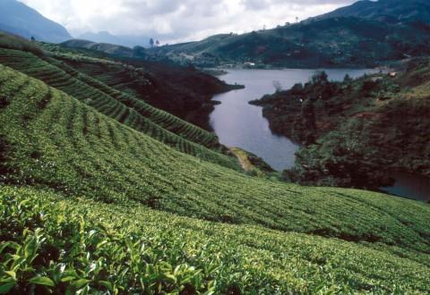 Sri_Lanka_Teeplantage