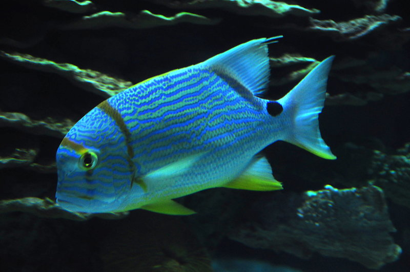 Blue Fish : Blue Fish Related Keywords & Suggestions - Blue Fish Long Tail ...