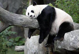 treasured-panda